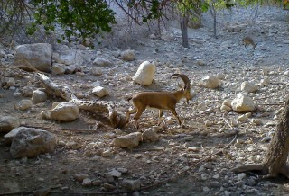 IsraelTrip-Engdi-Goat
